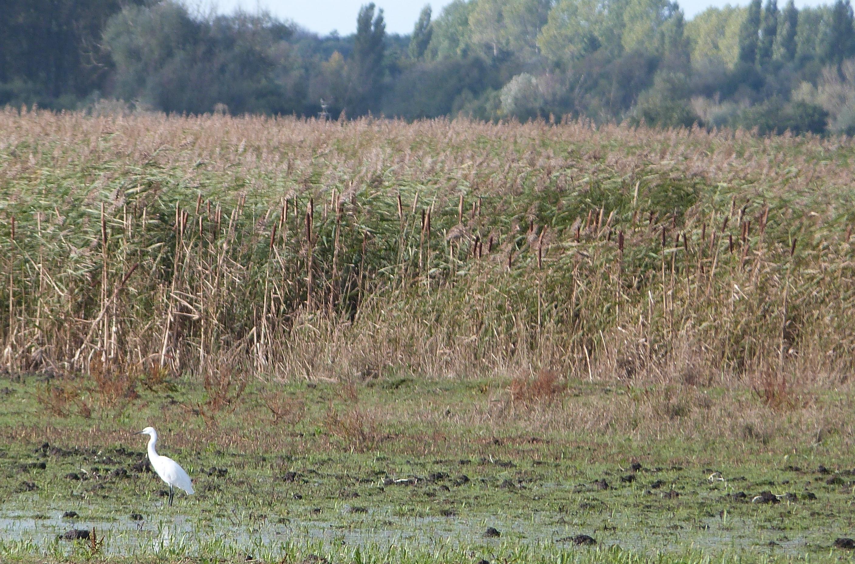 Little Egret - cropped