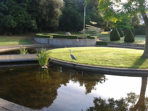 Grey heron in Nottingham