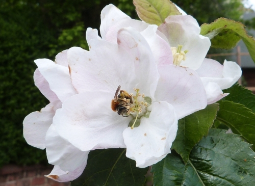 Bee on apple blossom 2 - 1st May 2015