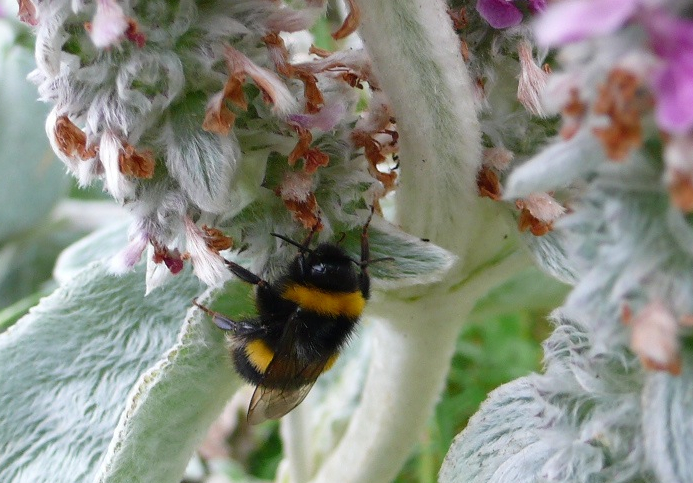 Buff atil on Lambs ear cropped July 2015 P1120289 copy
