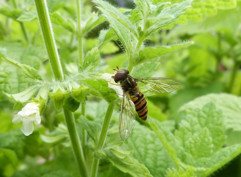 Syrphid on lemon balm 2 - 1P1020548
