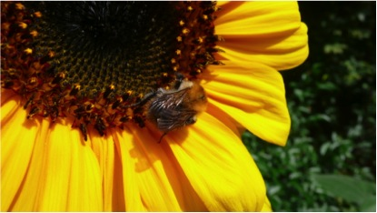 B pasc on sunflower
