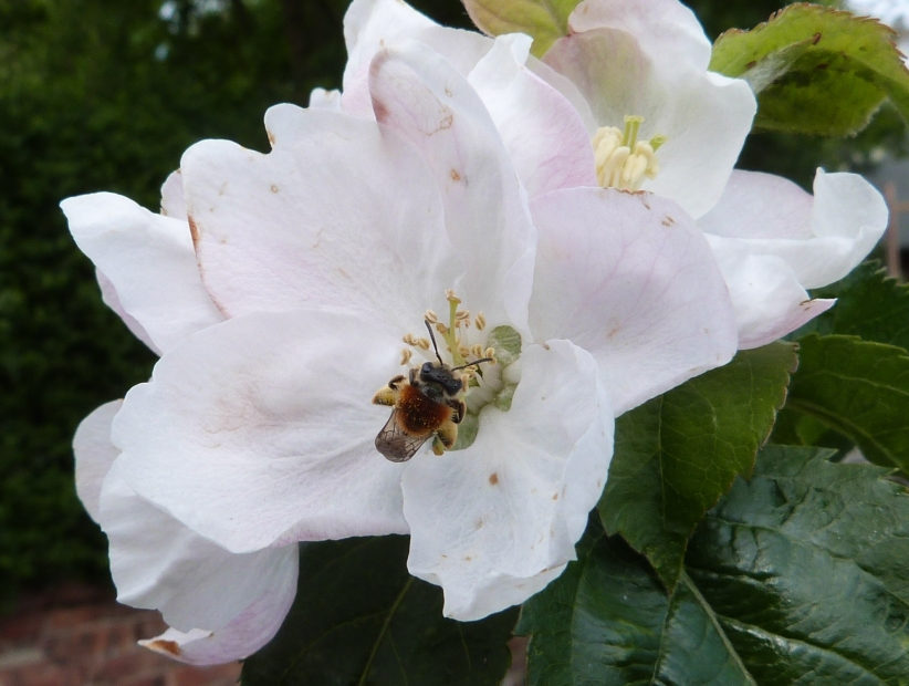 Bee on apple blossom - 1st May 2015