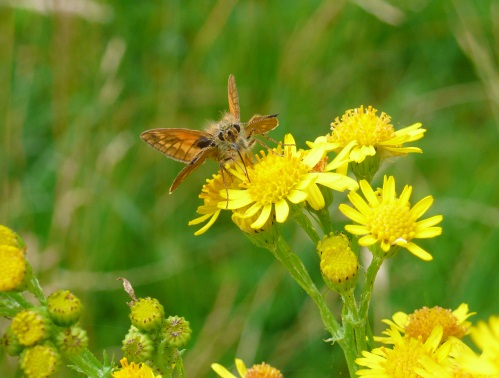 Skipper on ragwort - cropped