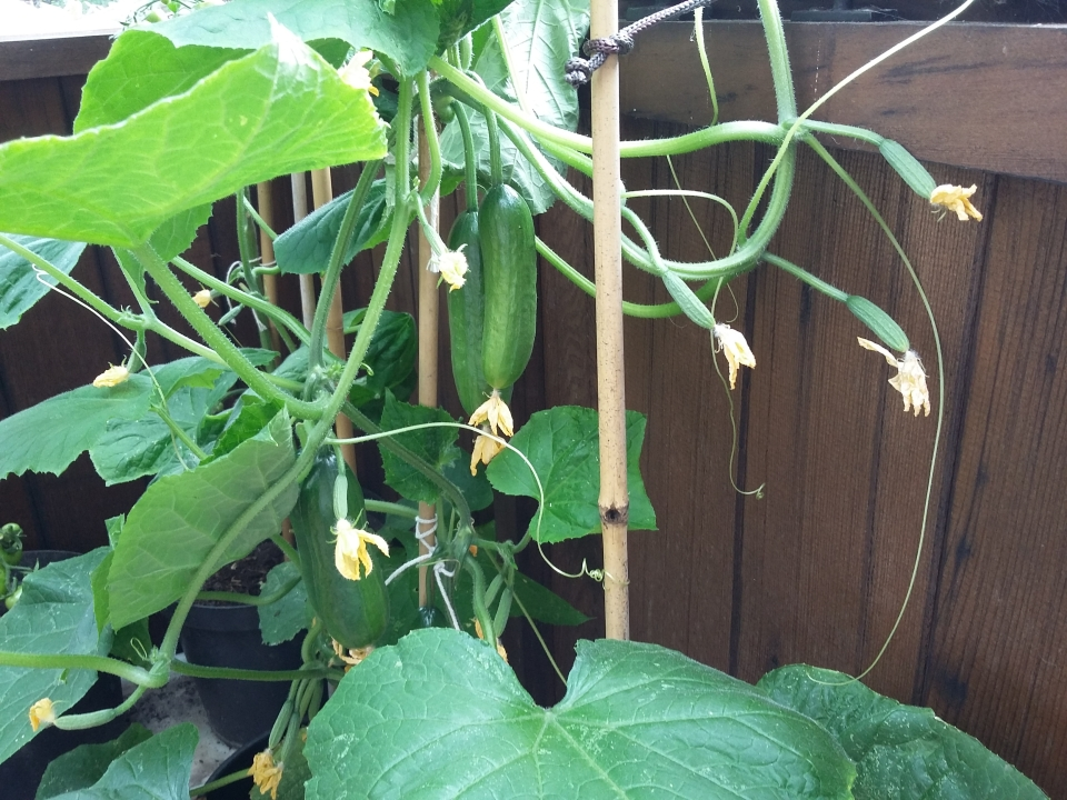 Cucumber fruit 20160713_103558
