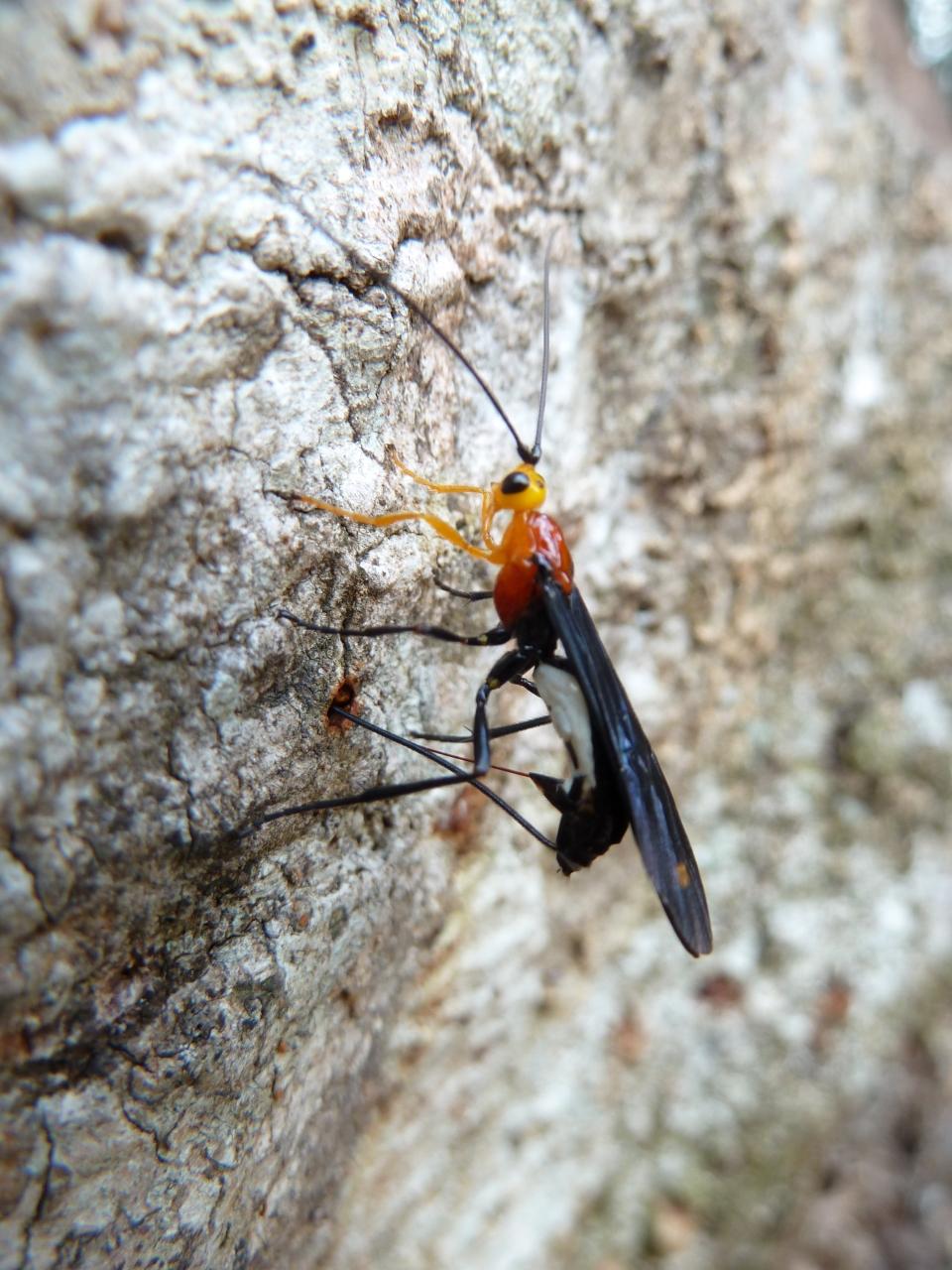 Tanzania ichneumonid P1000757
