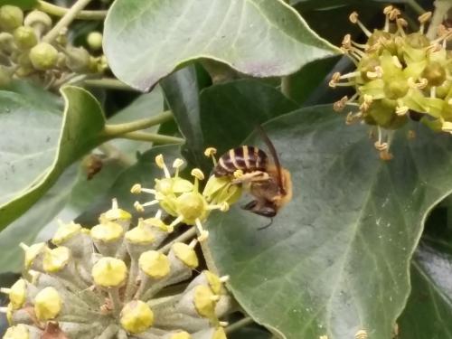 Ivy bee 20161011_143817.png