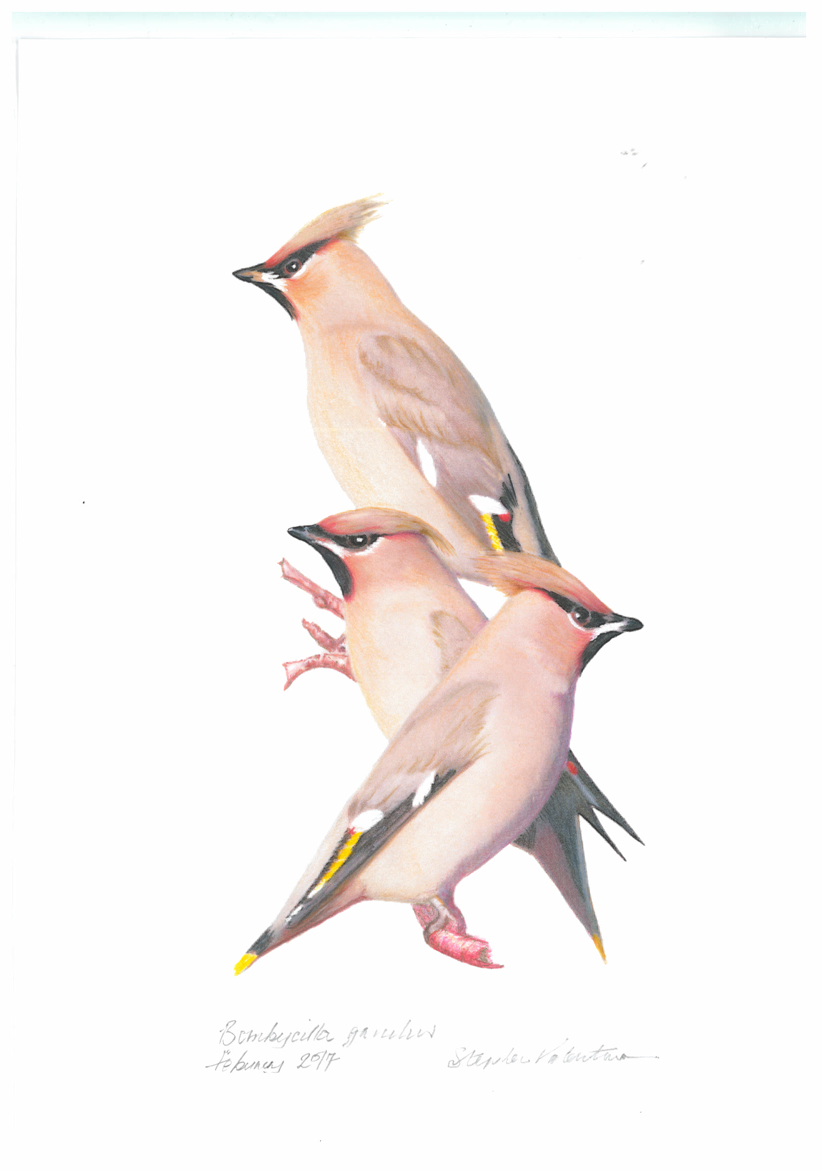 waxwings-by-stephen-valentine