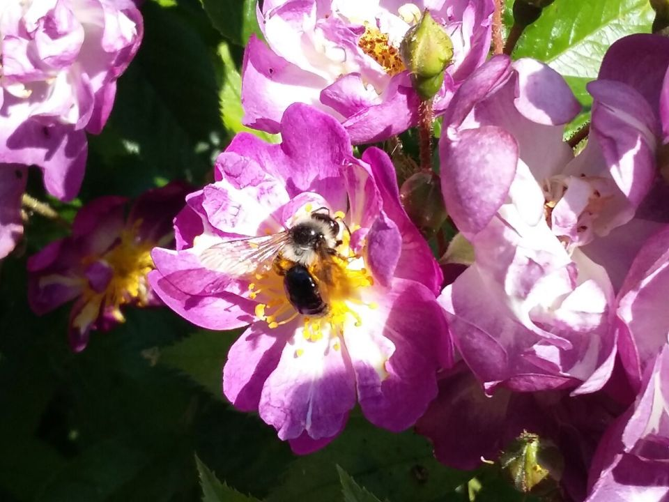 Ashy Mining Bee 2017-06-17 10.55.45