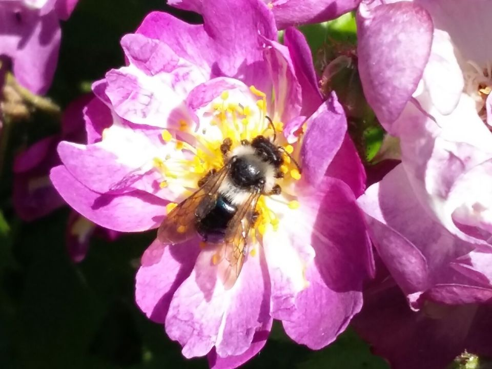 Ashy Mining Bee 2017-06-17 10.55.53