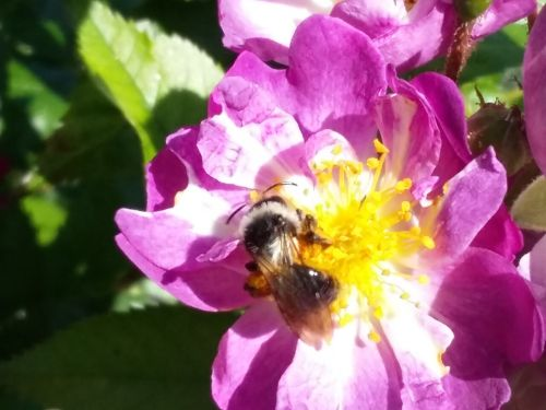 Ashy Mining Bee 2017-06-17 10.56.10