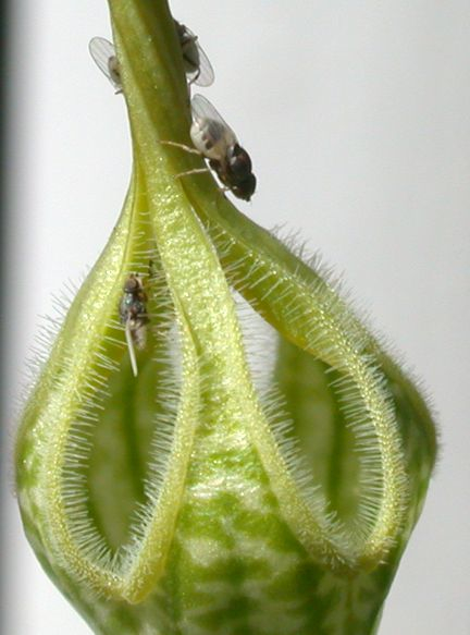 Flies on C. arabica from Sage Reynolds