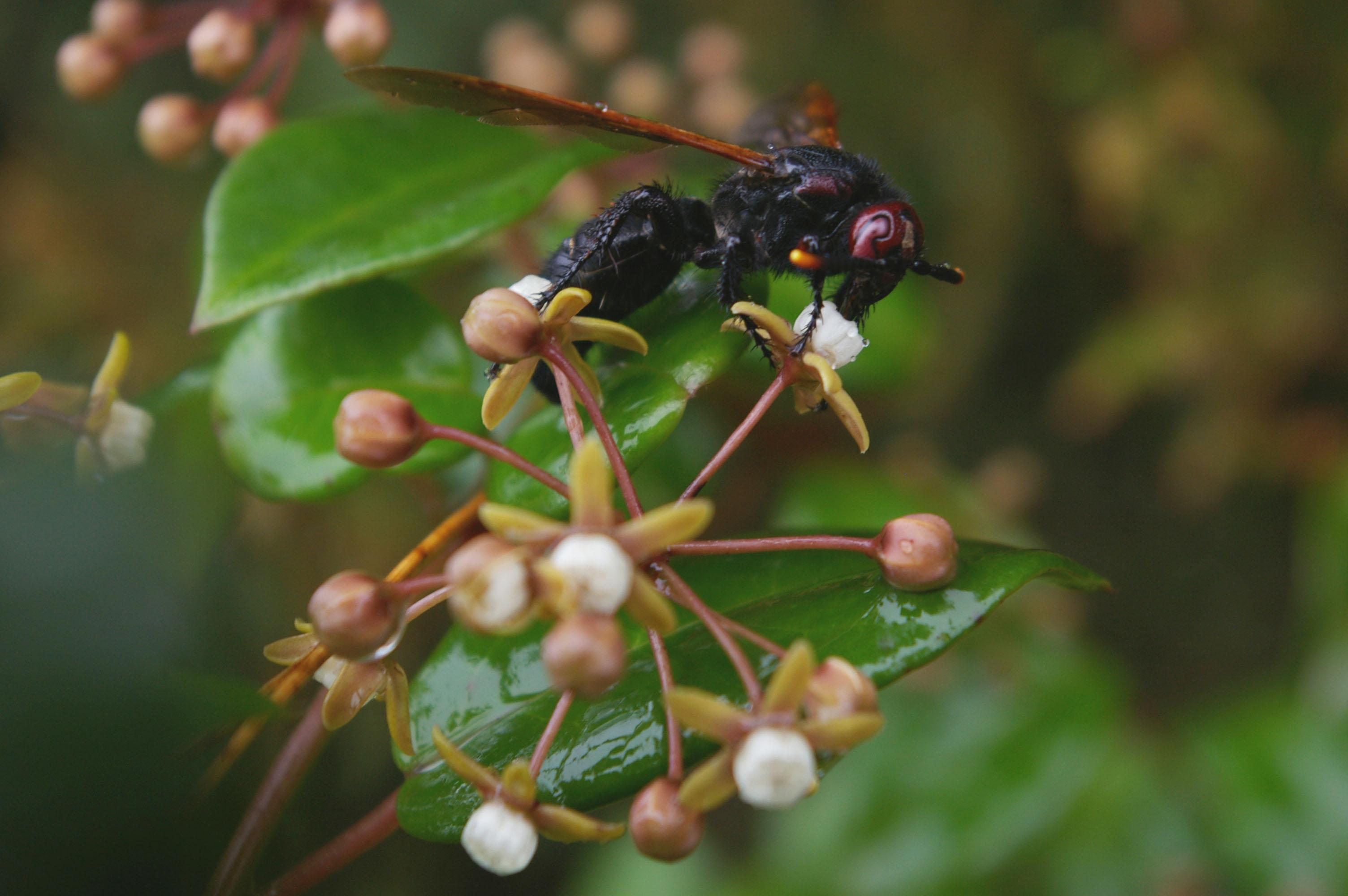 cynanchum obovatum with wasp_madag -angavokely_meve 1