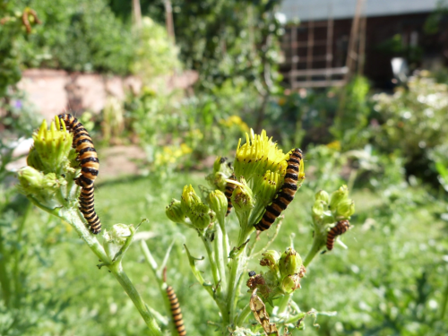 Cinnabar caterpillars on ragwort