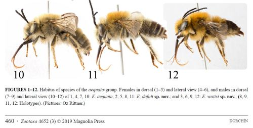 New Eucera species